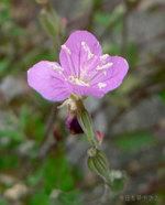 アカバナユウゲショウの花