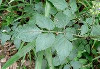 アキノタムラソウの葉