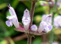 アキノタムラソウの花