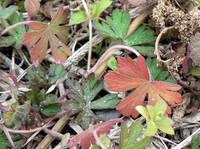 アメリカフウロの冬の葉