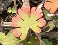 アメリカフウロの葉