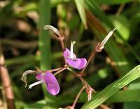 アレチヌスビトハギの花