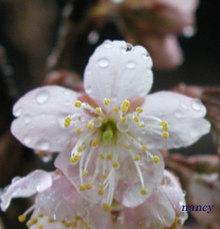 雨の中のさくらんぼの花