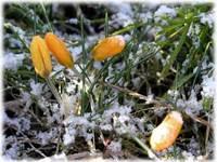 雪をかぶったクロッカス