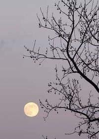 モミジバフウと月
