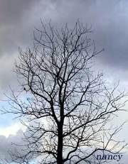 春を待つフウの木