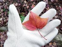 フウの落ち葉