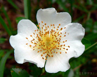 フジイバラの花