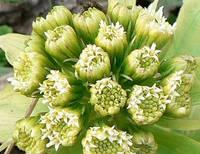 雄株の頭花