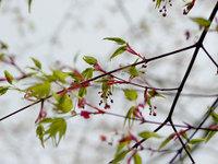 春のイロハモミジ