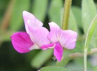 カラスノエンドウの花