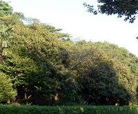 キンモクセイの大木