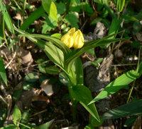 キンランの花