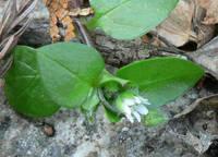 コハコベの花