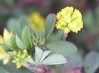 コメツブツメクサ 花のアップ