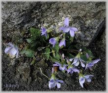 コスミレの花