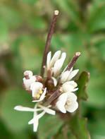 ミチタネツケバナの花