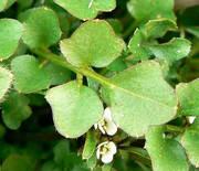 ミチタネツケバナの小葉