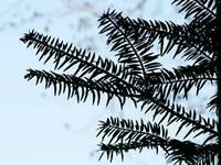 モミノキの枝