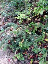 モミの木の幼木