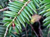モミの木の葉先