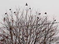 柿の木に群がるムクドリ