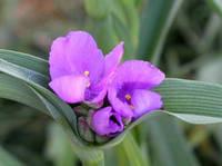 オオムラサキツユクサの花