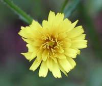 コウゾリナの花