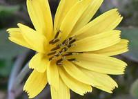オオジシバリの花アップ