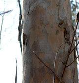 ryoリョウブの樹皮