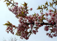 早咲きの桜