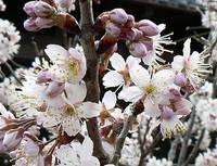カラミザクラの花