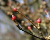 サラサドウダンの冬芽
