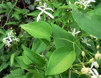 センニンソウの葉