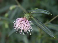 スズカアザミの花