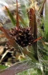 スズメノヤリの頭花
