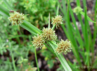 タマガヤツリの花