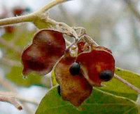 タンキリマメの豆果