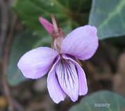 タチツボスミレの花のアップ