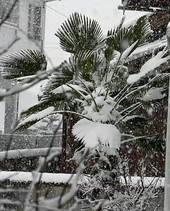 雪の中のトウジュロ