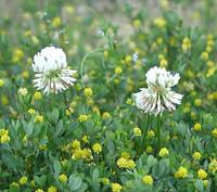 ツメクサ2種の花