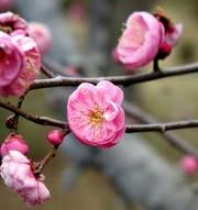 大好きなピンクの梅