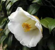 white-tsubaki